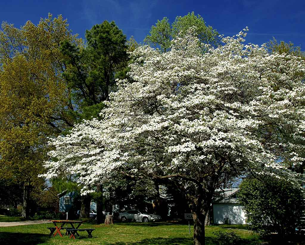 Pond Mountain Dogwood